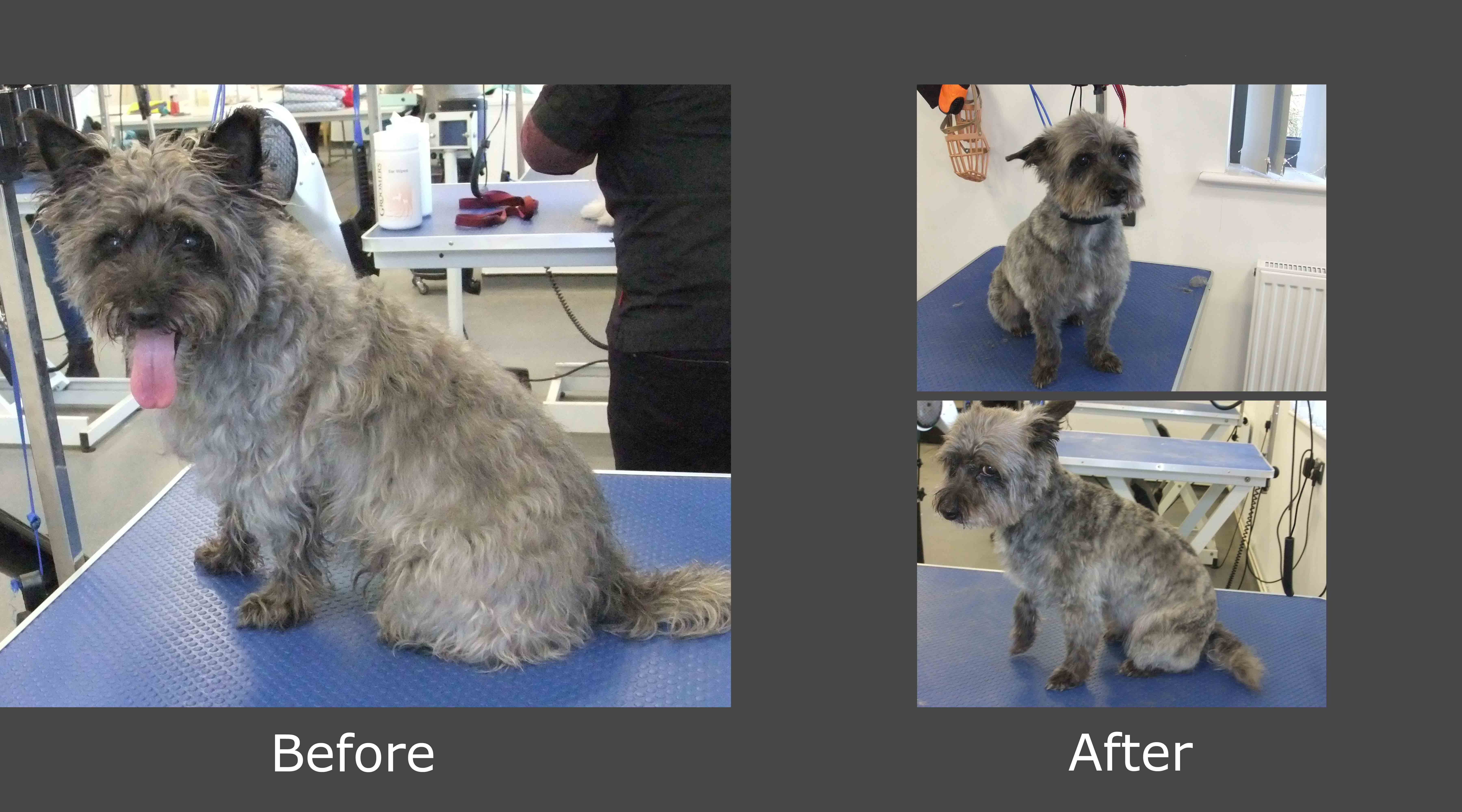 Before Amp After Bradgate Dog Grooming Leicester